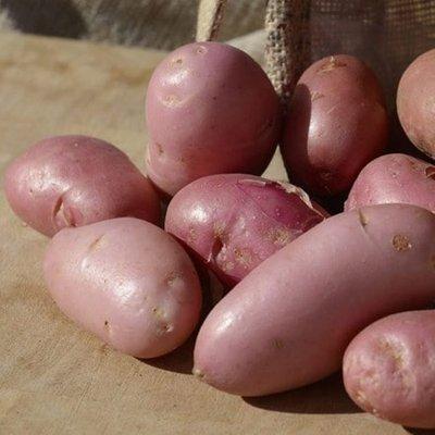 potato Sarpo Una (PBR)