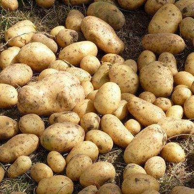 potato Maris Bard