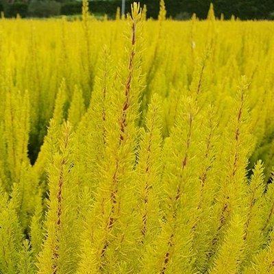 Erica arborea var. alpina f. aureifolia Albert