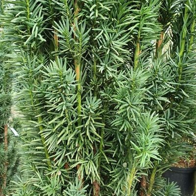 Taxus baccata Fastigiata Robusta