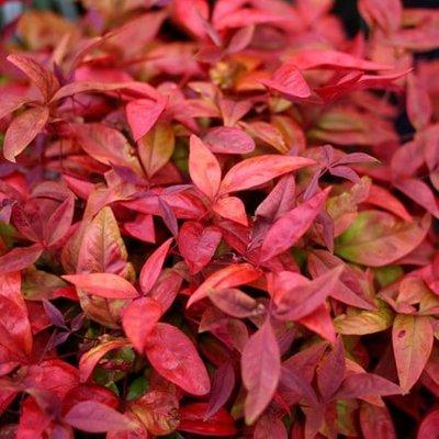 Nandina domestica Blush Pink (