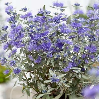 Caryopteris clandonensis Sterling Silver (