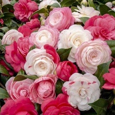 Camellia japonica Festival