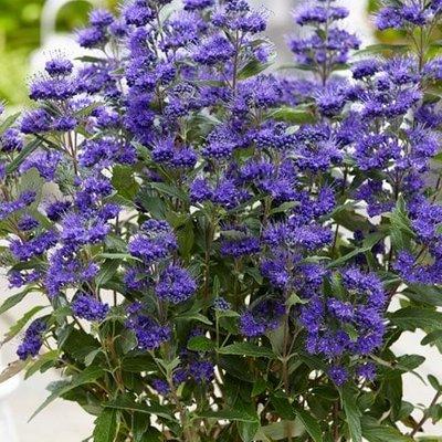 Caryopteris clandonensis Grand Bleu (