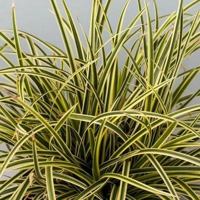 Carex morrowii Vanilla Ice (
