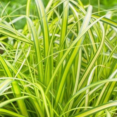 Carex oshimensis Eversheen (PBR) (Evercolor Series)