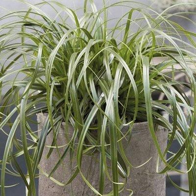 Carex Ribbon Falls (