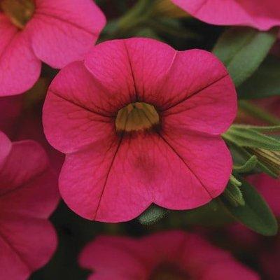 Calibrachoa Cabaret Hot Pink (