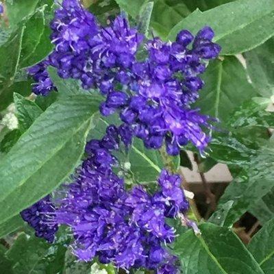Caryopteris clandonensis Heavenly Blue