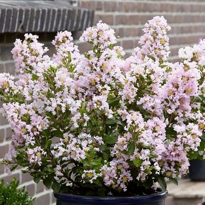 Lagerstroemia indica With Love Babe (
