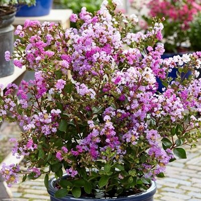 Lagerstroemia indica With Love Eternal (