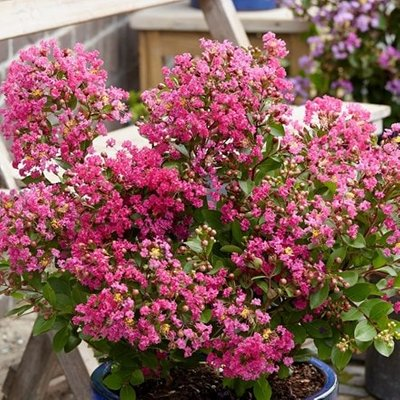 Lagerstroemia indica With Love Kiss (