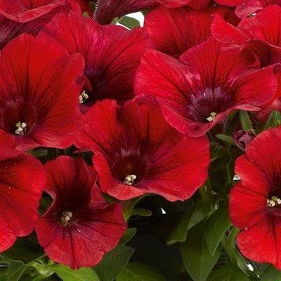 Petunia Potunia Dark Red (Potunia Series)