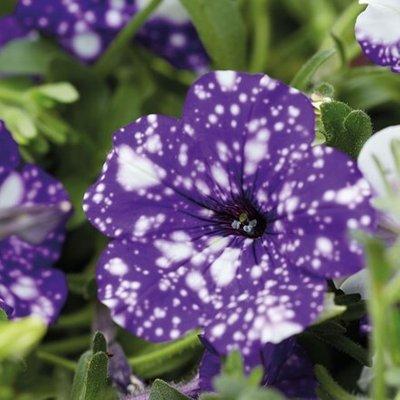 Petunia NightSky (