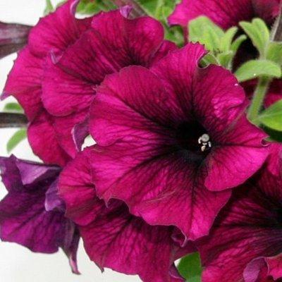 Petunia Recife Burgundy Improved