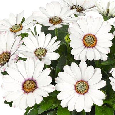 Osteospermum Astra White (Astra Series)