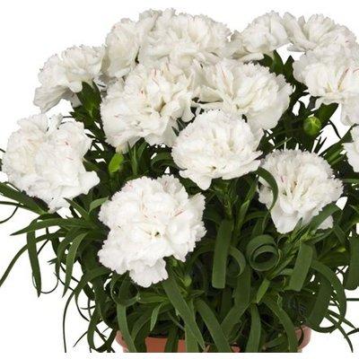 Dianthus Menorca White