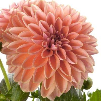 Dahlia Dahlietta Lily (Dahlietta Surprise Series)