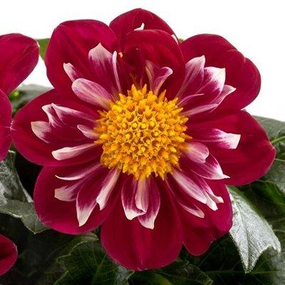 Dahlia Medio Fun Rose Fun (Labella Series)