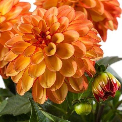 Dahlia Medio Fun Orange Bicolour (Labella� Series)