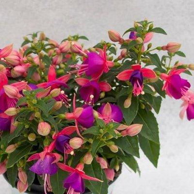 Fuchsia Jollies Nancy