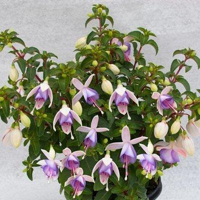 Fuchsia Jollies Macon