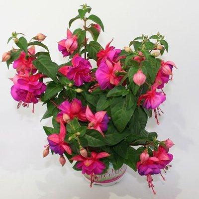 Fuchsia Jollies Miravel