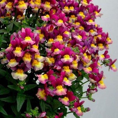 Nemesia Honey Bicolour Purple (Honey Series)