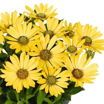 Osteospermum Astra Yellow (Astra Series)