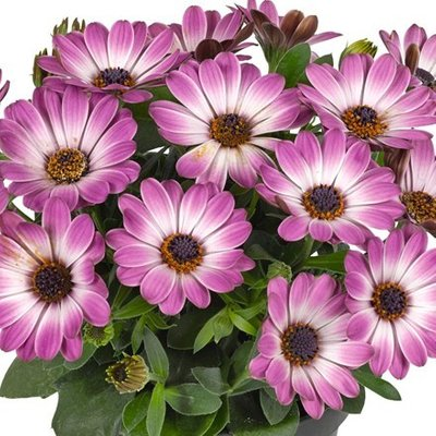 Osteospermum Astra Rose White (Astra Series)