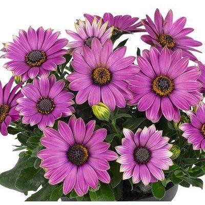 Osteospermum Astra Rose Magic (Astra Series)