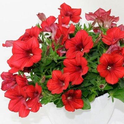 Petunia Belem Compact Red
