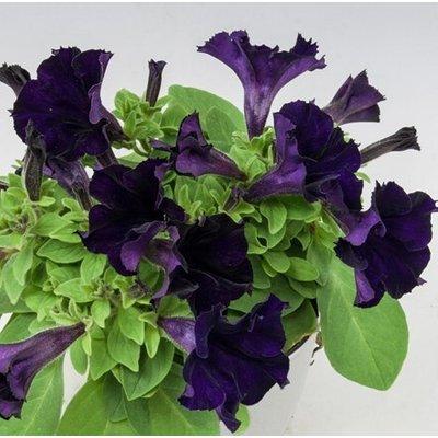 Petunia Belem Deep Violet