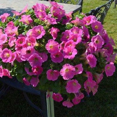 Petunia Potunia Hot Pink (Potunia Series)