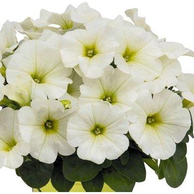 Petunia Potunia Plus White (Potunia Series)