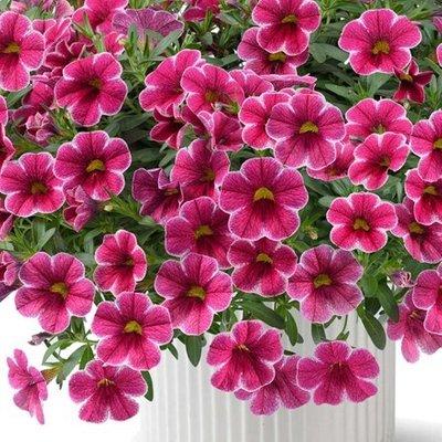 Calibrachoa Callie Cherry Ribbon (Callie Series)