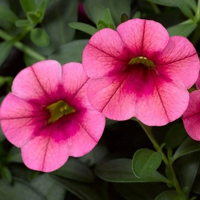 Calibrachoa Callie Strawberry (Callie Series)