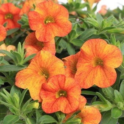 Calibrachoa Callie Orange Sunrise (Callie Series)