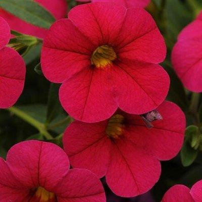 Calibrachoa Cabaret Cherry Rose (