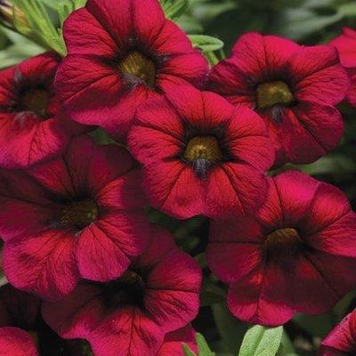 Calibrachoa Callie Burgundy (Callie Series)