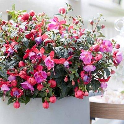Fuchsia Susanna (