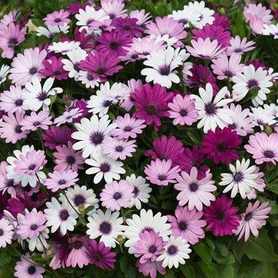 Osteospermum Akila Berries & Cream Mixed (Akila Series)