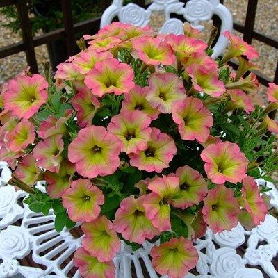 Petunia Aurora Pink Mango