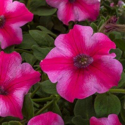 Petunia Aurora Star Rose