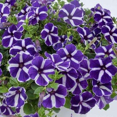 Petunia Aurora Starry Blue
