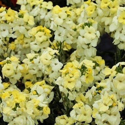 Erysimum ( wallflower ) Sugar Rush Primrose