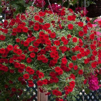 Calibrachoa Cabaret Bright Red (