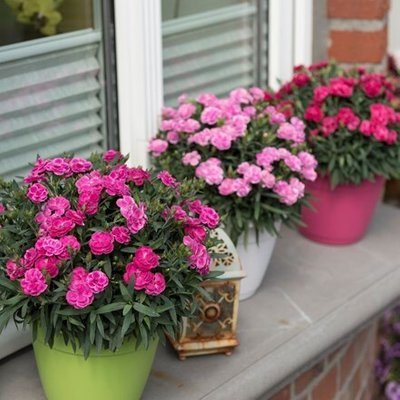 Dianthus Pink Shades