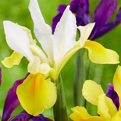 Iris Symphony