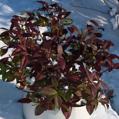 Trachelospermum jasminoides Winter Ruby (